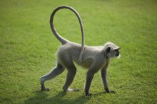 Monkey Langur Or Hanuman On Th...
