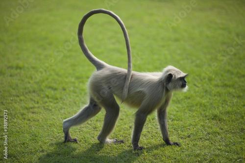 Foto op Plexiglas Aap Monkey langur or hanuman on the green grass in India