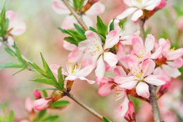 Panel Szklany Ogrody Apple tree brunch. Spring blossom.