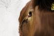 canvas print picture - Kuh Augen