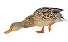 Mallard Duck Stretching For Fo...