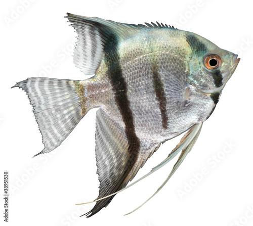 Silver Angelfish Wallpaper Mural