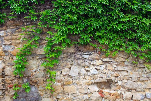 plakat A green ivy on a stone wall, a beautiful background