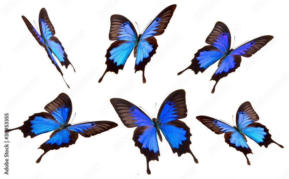 Papilio Ulisses buitterflies on white background