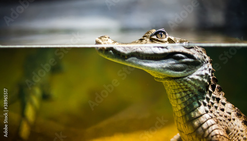 La pose en embrasure Crocodile Caiman crocodilus