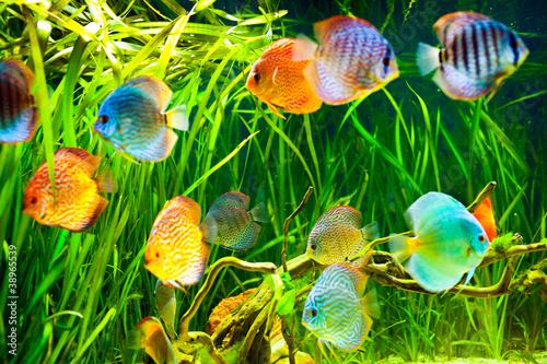 Papiers peints Recifs coralliens Symphysodon discus