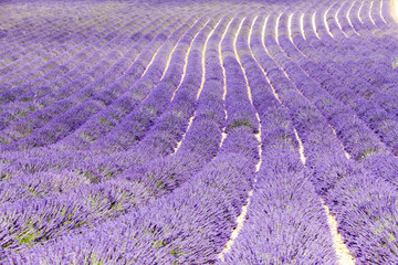 Panel Szklany Lawenda lavender field, Plateau de Valensole, Provence, France