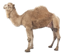 Camel Isolated On White Backgr...