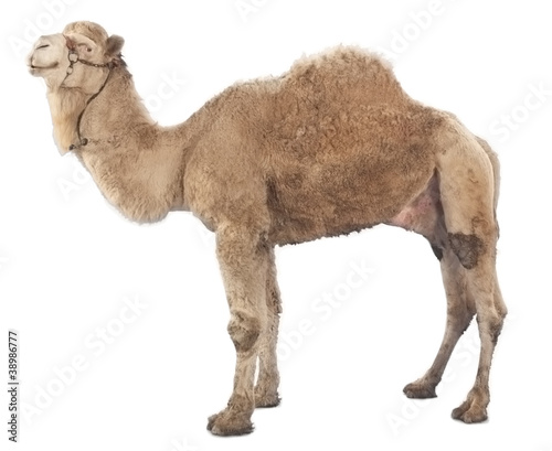 Tuinposter Kameel Camel isolated on white background