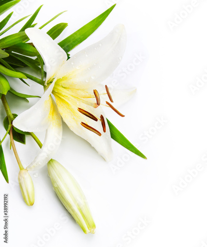 Stampa su Tela madonna lily isolated on a white background