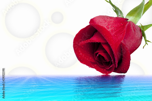 Fototapeta Red roze and water obraz