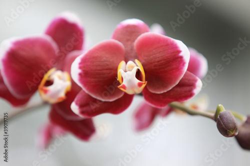 bliska-strzal-czerwonych-kwiatow-orchidei