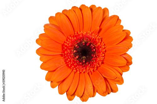 In de dag Gerbera Orangefarbene Gerbera, Nahaufnahme