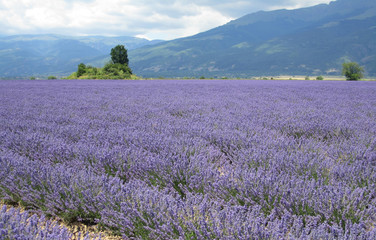 Fototapeta Roes of lavender plant. herbal landscape of aromatic plant.