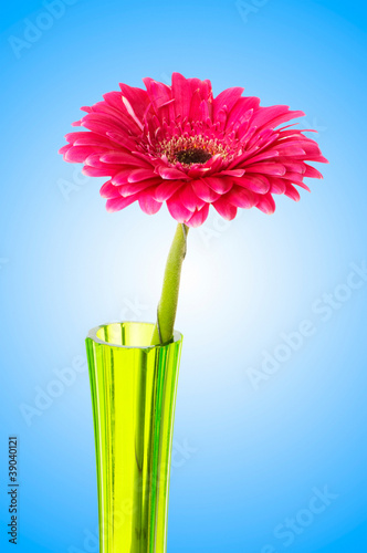 Fotobehang Gerbera Gerbera flower against gradient background