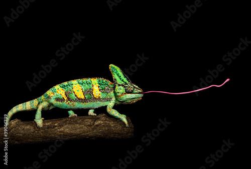 Staande foto Kameleon Chamäleons - Abschuss