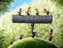 Mighty Ant Camponotus Herculeanus And Team Formica Rufa
