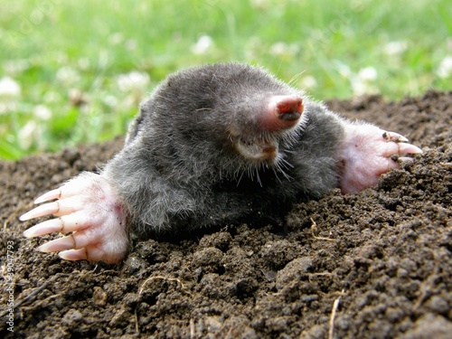 Fotografie, Obraz  Laughing mole crawling out of molehill