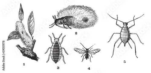 Aphids or plant lice, 1. Woolly adelgid. 2. Woolly adelgid. 3. R Canvas Print