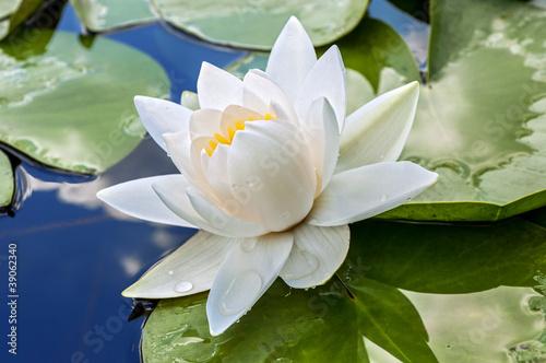 Foto op Canvas Lotusbloem White lily