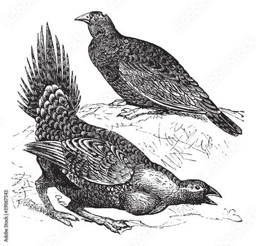 Fotografia Cock of the Plains (Centrocercus urophasianus) or Sage grouse, f