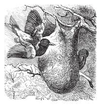 Baltimore Oriole Or Icterus Galbula, Vintage Engraving