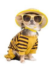 Summer Chihuahua