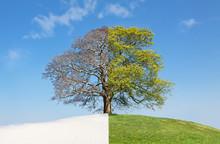 Collage Tree Summer Vs. Winter