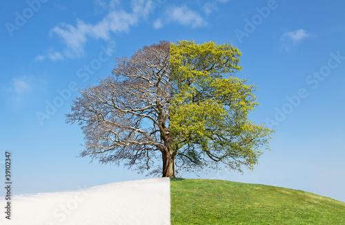 Fotografía Collage tree summer vs. winter