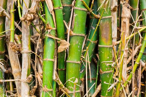 Plakaty Dżungla kepa-bambusa
