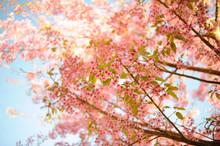 Sakura Thailand