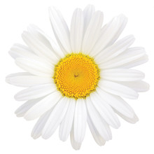Oxeye Daisy Leucanthemum Vulgare Lam. Isolated Macro Closeup
