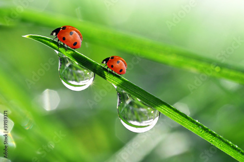 fresh morning dew and ladybird Wallpaper Mural