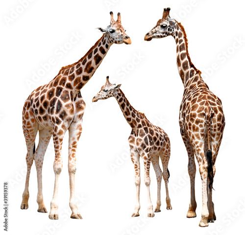 Poster Giraffe giraffes isolated