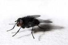 Dark Fly On Glas Plate (callip...