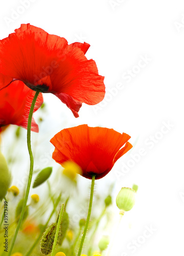 art poppies white background, green floral design