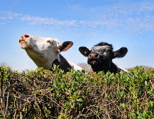 Cuadros en Lienzo Cows peering over a hedgerow