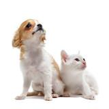 Chihuahua i kotek