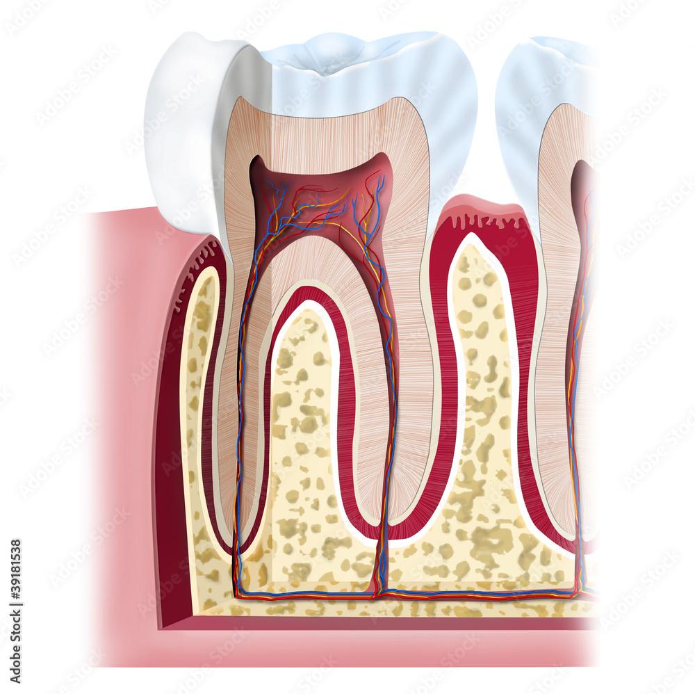 Tooth Anatomy Foto Poster Wandbilder Bei Europosters