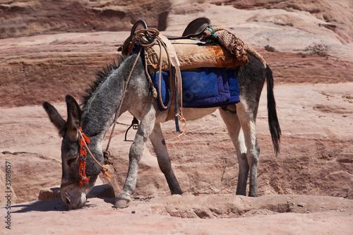 Un âne, à Pétra, Jordanie. Tableau sur Toile