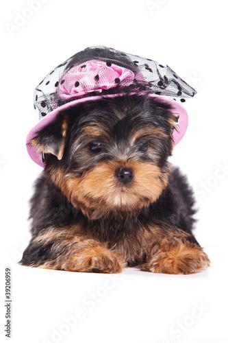 szczenie-yorkshire-terrier-na-bialy
