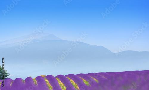 Garden Poster Lavender lavande au pied du ventoux