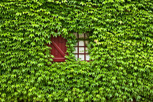 Ivy Covered Painted  Window And Shutter
