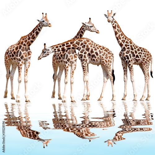 Fototapety, obrazy: giraffes isolated