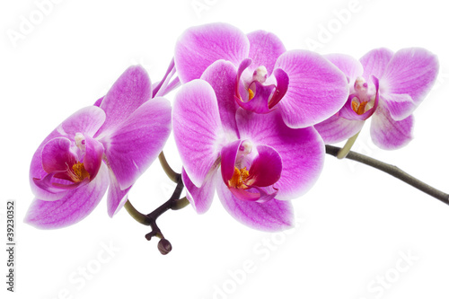 Photo Stands Orchid rosa Orchidee isoliert