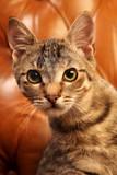 Fototapeta Zwierzęta - Cat on brown background