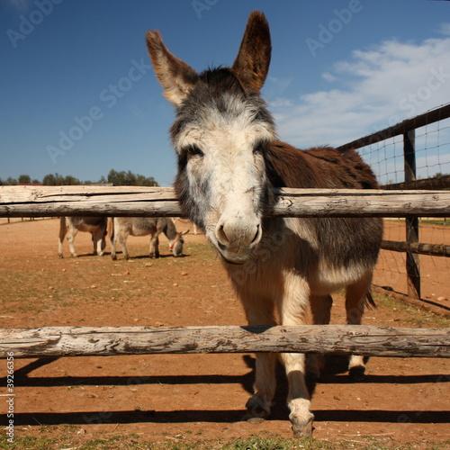 Photo  curious donkey
