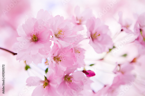 Japanese cherry tree in blossom - 39280572