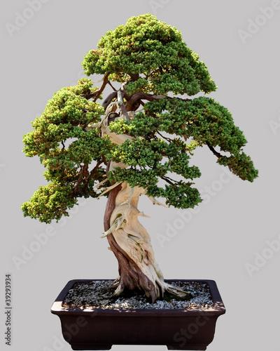 Spoed Fotobehang Bonsai Japanese bonsai tree in pot isolated