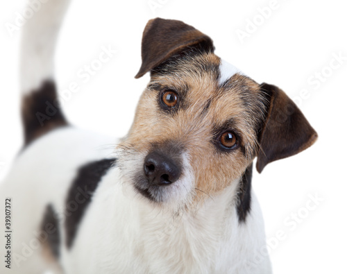 Fotografie, Obraz  Aufmerksamer Parson Russell Terrier